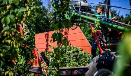 Húsz hektárral nőhet a magyar komlóültetvények mérete